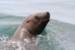 zeehond Sachalin