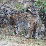 Iberische lynx foto Jose Luis Balsera