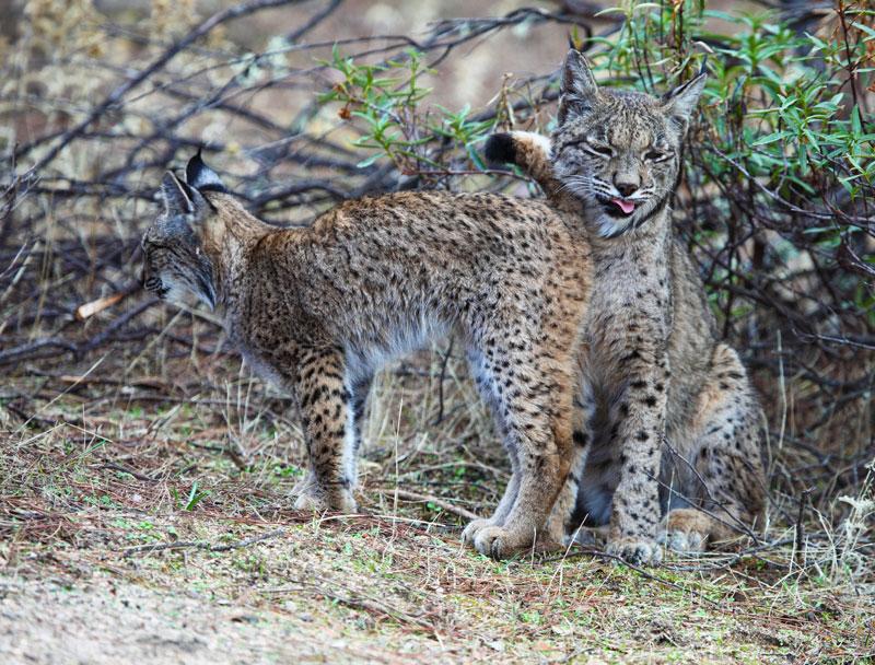 De lynx in Spanje