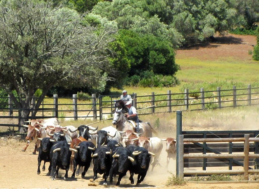Andalusische paarden en stieren countryshow