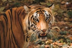 tijger India