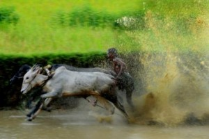 cattle race Kerala