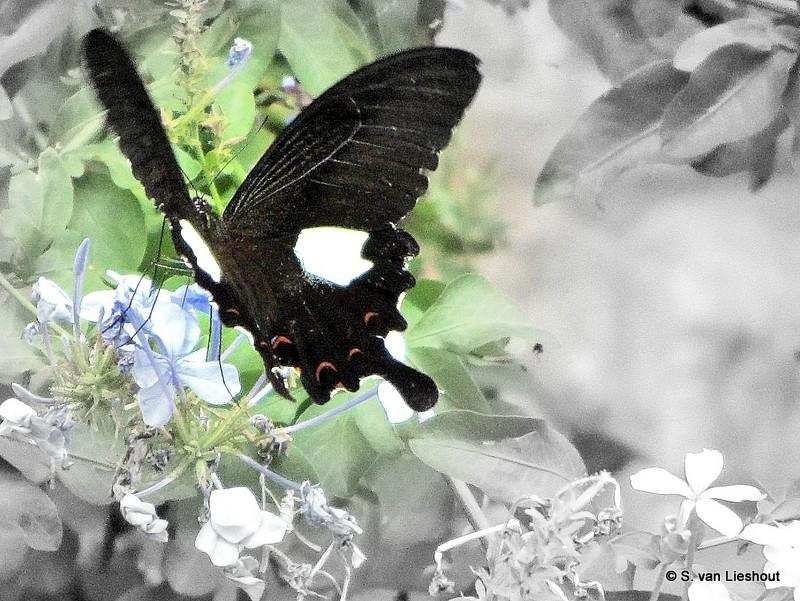 vlinders zo groot als een hand