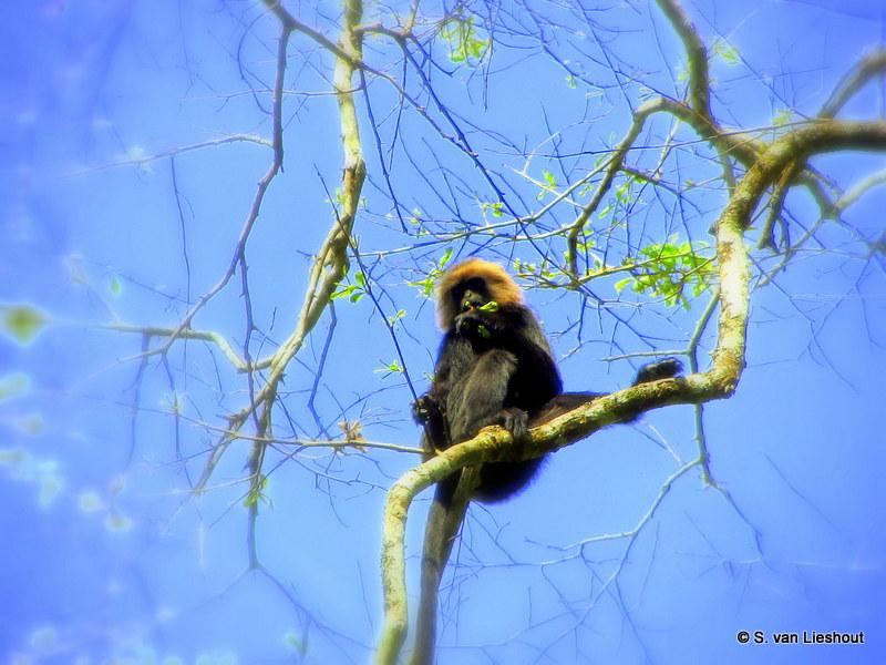 langur aap