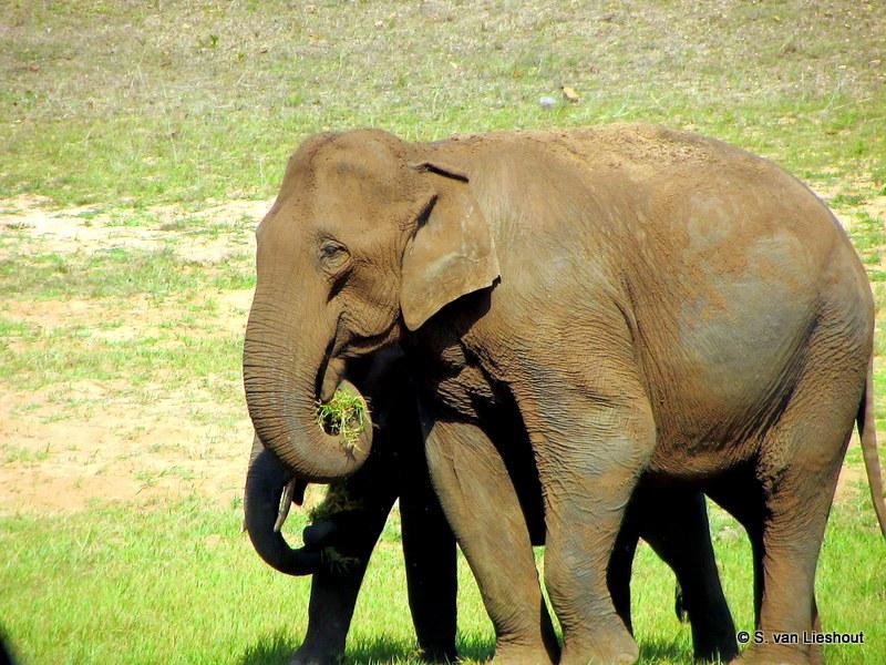 Indiaase olifant