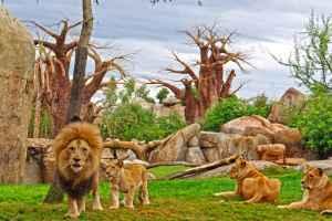 Bioparc Valencia familie leeuwen