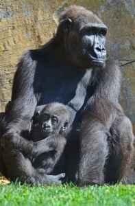 Een gorilla & baby in het natuurpark van Valencia