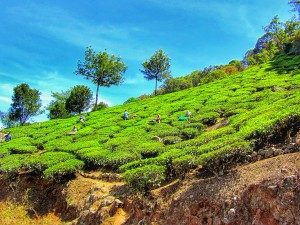 Munnar theeplantages