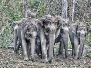 Wayanad wilde olifanten