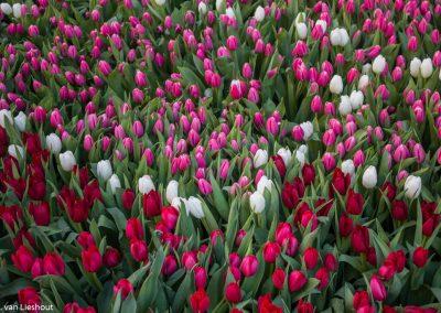 Bucharest tulpen