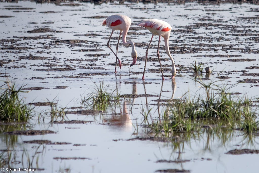 flamingos El Rocio