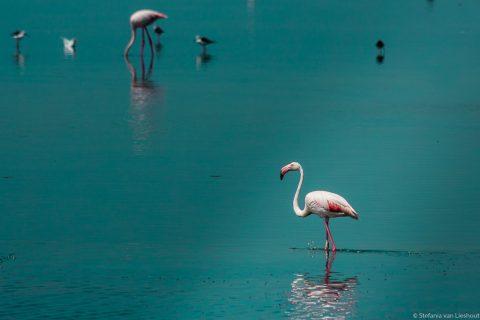 Flamingo Camargue