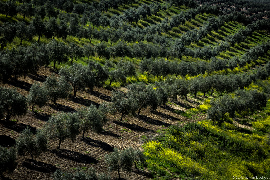 Olijfgaarden Cordoba