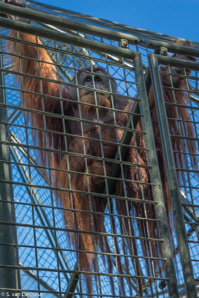 Zoo Berlin orang utan
