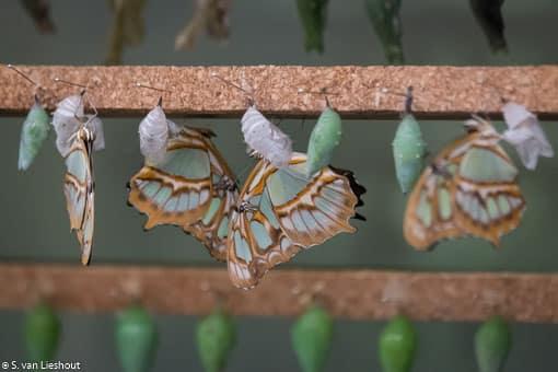 van pop naar vlinder