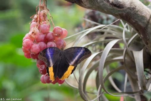 Fruitvlinders