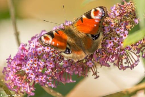 Vlinders Nederland