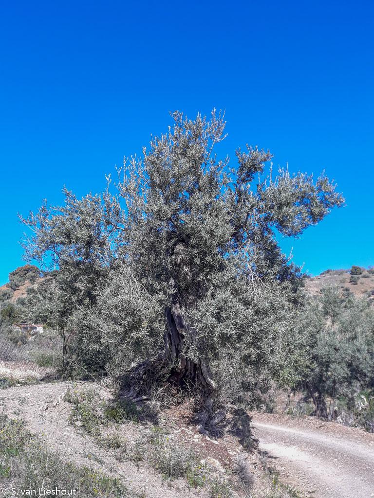 steeneik Malaga