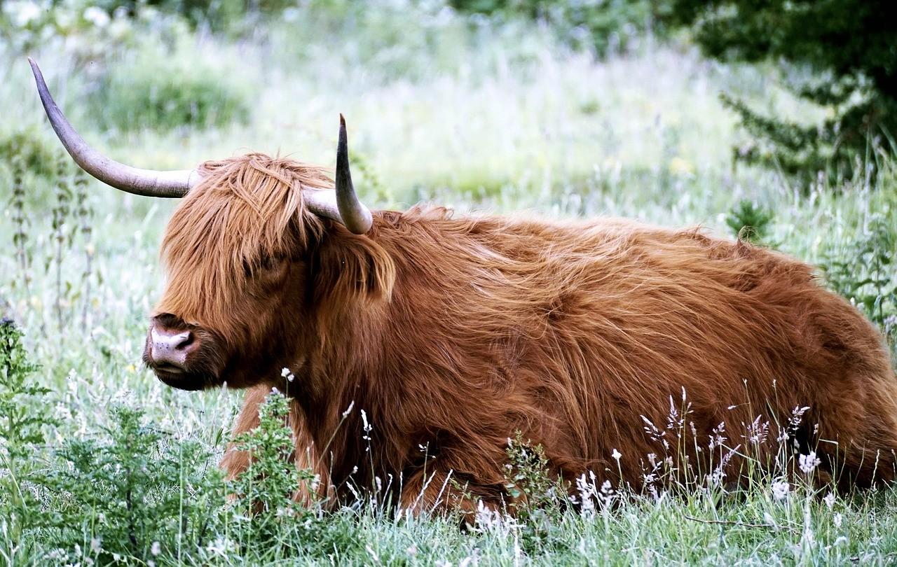 highlander koe