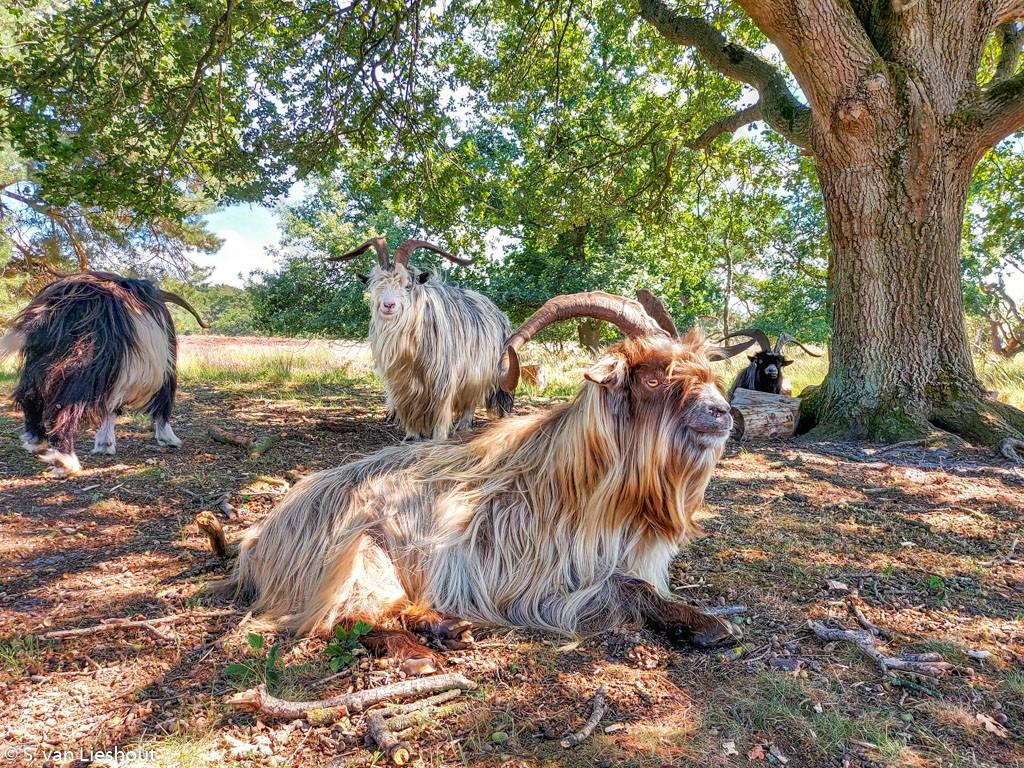 wilde geiten langs het Pieterpad