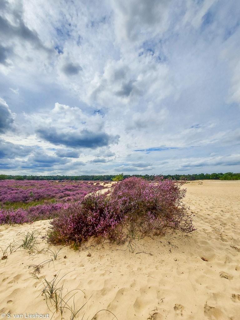 paarse heide Loonse & Drunense Heide