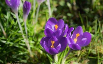 Saffron Walden, de bloem van Essex